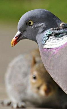 Colorful Pigeon and a friend ......