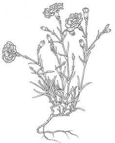 Dianthus Bobbi Angell