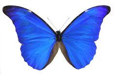 Morpho r rhetenor, Blue Morpho Butterfly