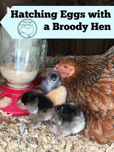 Incubating eggs & having newborn chicks around can be a lot of work. Hatching eggs with a broody hen allows nature and instinct to take over all the work for you. Letting the hen mother the e… Best Egg Laying Chickens, Raising Backyard Chickens, Backyard Poultry, Hatching Chickens, Chicken Incubator, Urban Chickens, Broody, Diy Chicken Coop, Chicken Breeds