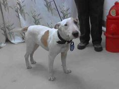 #TEXAS #URGENT ~ ID A396628 is a 2.5yo Bull Terrier mix in need of a loving #adopter / #rescue at HARRIS COUNTY PUBLIC HEALTH & ENVIRONMENTAL SERVICES  612 Canino Rd  #Houston TX 77076  Ph 281-999-3191