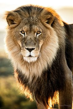 Lion Gaze Lion Gaze<br> Out of Africa Wildlife Park Beautiful Creatures, Animals Beautiful, Animals And Pets, Cute Animals, Beaux Couples, Gato Grande, Lion And Lioness, Lion Love, Beautiful Lion