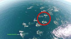 Captain Dave Anderson of Capt. Dave's Dolphin and Whale Safari in Dana Point, California recently filmed and edited this 5 minute video taken with a drone. It shows  thousands of dolphins,  three gray whales migrating off the coast of San Clemente, and a humpback whale snuggling with her calf in Maui.