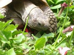 Great resource for edible tortoise plants and habitat plantings. Excellent!