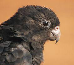 Vasa Minore - Black parrot - Coracopsis nigra
