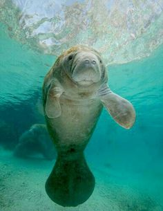 So ugly she's beautiful! Love Manatee's!
