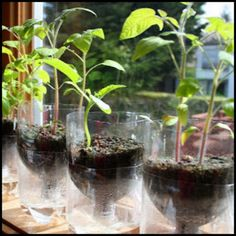 How To Make Self-watering Seed Starter Pots. We are excited to share with you this recycling project. It is truly green and fun. You do not only recycle those plastic water bottles, but also make self-watering seed starter pots for you to start your herb Herb Garden, Vegetable Garden, Garden Plants, Indoor Plants, Home And Garden, Diy Garden, Edible Garden, Garden Art, Garden Design