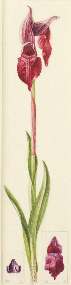Serapias cordigera L.