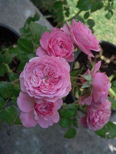 Tantau's Baronesse floribunda rose, is a new member of Mex. Rose garden