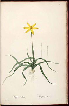 37328 Hypoxis stellata (Thunb.) L.f. / Redouté, P.J., Les Liliacées, vol. 3: t. 169 (1805-1816) [P.J. Redouté]