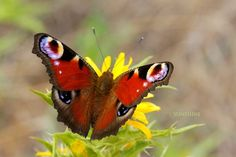 Butterfly photographs  Red Beauty  Peacock by sunshineartdesign, $10.00