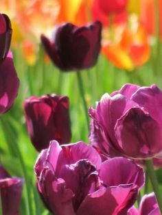 Tulip photography - Photo taken by: Anita Adams of NC Trees Photography
