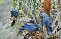 Arara azul se alimentando