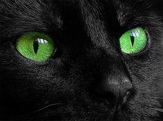 Black Kitten with Blue Eyes   blackrose deputy of rockclan black she cat with piercing green eyes is ...