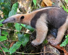 Northern Tamandua (type of Anteater). Osa Peninsula Rainforests.