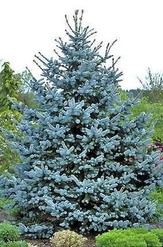 Blue spruce - the bestest of the evergreens