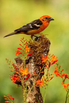 Flame colored tanager.