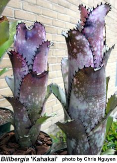 ✿* Cactus *✿* Suculentas *✿ Bilbergia 'Kahakai' by Chris Nguyen