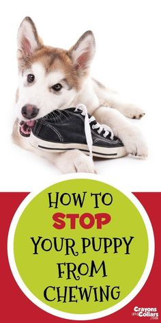 Your puppy may be cute but he's chewing everything in sight! Here are some easy tips to help stop your puppy from chewing things you don't want him to.    Puppies   Puppy behavior   Puppy training   Dogs   Dog training   dog chewing   dog behavior    @KaufmannsPuppy