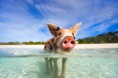 schwein exumas bahamas karibik