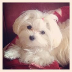 Lilly Jo - Maltese 7 months old