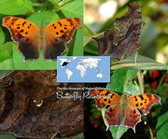 polygonia_interrogationis.jpg