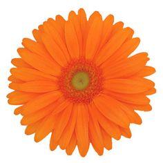 FiftyFlowers.com - Orange Gerber Daisies Flower