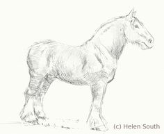 how to draw a clydesdale horse step by step