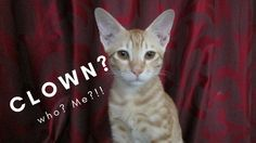 Our Little Clown! | Pixie-The Mischievous Kitten  This is just a small fun video of our little adorable clown Pixie.  Enjoy our kitten's antics!