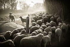 """ The sheep's way """