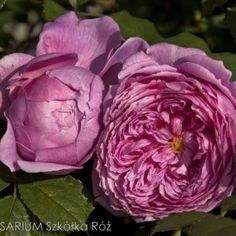 Alan Titchmarsh Flowers, Plants, Roses, Gardens, Pink, Rose, Outdoor Gardens, Plant, Royal Icing Flowers