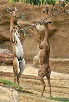The Gerenuk, Litocranius walleri, also known as the Waller's gazelle, is a long- necked species of antelope found in dry thorn bush scrub and desert in East Africa