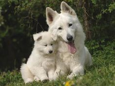 berger blanc suisse dog photo | Berger Blanc Suisse Dog Breed | Pet Information, Training  More | Pet ...