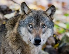 Auf leisen Pfoten zurück: Der Wolf