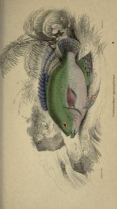 v. 40: Ichthyology v. 6 (Fishes of British Guiana, Part 2; Memoir Burckhardt) - The naturalist's library. - Biodiversity Heritage Library