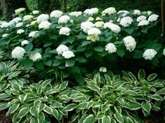 Snow Hill Hydrangea shrub is a deciduous shrub that has soft gray-green leaves. It's a homeowners favorite plant. Smooth Hydrangea, Hydrangea Shrub, White Hydrangea Garden, White Hydrangeas, White Flowers, Limelight Hydrangea, Hydrangea Landscaping, Front Yard Landscaping, Landscaping Ideas