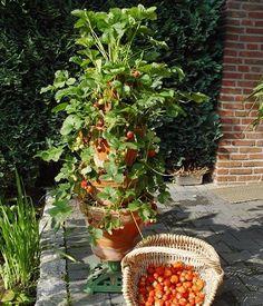 Hochhaus im Balkongarten: Tontöpfe lassen sich übereinander stapeln und z.B. mit Erdbeeren bepflanzen. Foto: T. Hess