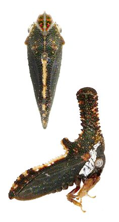 Membracidae sp. 64 (from insects of Guyana)