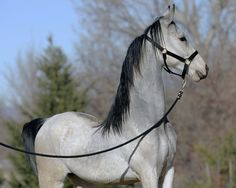 silver akhal teke...Love how you can see the lead line is slack, and he is naturally holding his head that high and proud