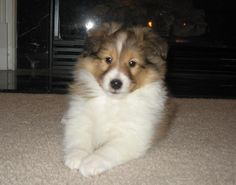 Available Sheltie puppies in Pennsylvania