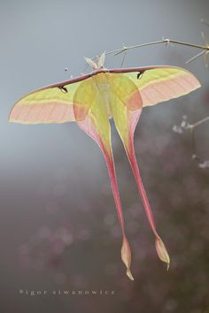 gorgeous luna #photography #moth