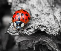 I like how the red of the ladybug looks against the black and white. It really stands out. Splash Photography, Color Photography, Black And White Photography, Animal Photography, Photoshop Photography, Photography Ideas, Black And White Background, Black White Red, Black White Photos
