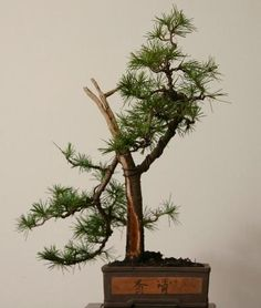"""In Japanese: """"Misho"""" - Growing Bonsai from tree seeds. Bonsai Seeds, Tree Seeds, My Secret Garden, Plants, Planters, Plant, Planting"""