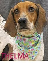 Thelma is a sweet girl. She is a 2 year old Redbone Coonhound mix that is looking for some TLC. Check her out today!