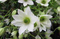 Clematis x cartmanii [Michiko] = 'Evipo044' (PBR) (Fo) | /RHS Gardening