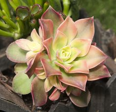 Aeonium 'Kiwi' SSE-1004 Aeonium Kiwi is a low growing and mounding succulent with small white, pink and pale green rosettes. Part to full sun. https://www.simplysucculents.com/online-store/products/805