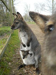kangaroo and a lil joey!