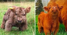 beercheesecasserole: Highland cattle calves are shorter than most but still rock the show! beercheesecasserole: Highland cattle calves are shorter than most but still rock the show! omg my heart i want one Cute Baby Cow, Baby Cows, Cute Cows, Cute Baby Animals, Funny Animals, Baby Highland Cow, Highland Calf, Cute Animal Drawings, Cute Animal Pictures