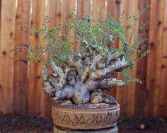Pelargonium Carnosum picture