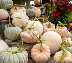 Pumpkin patches have always gone hand-in-hand with the Autumn season.  In the last few years we've seen a huge jump in the variety and hues of squash and pumpkins headlining patios and front doors. I've scoured the seed catalogues to find the most interesting pumpkins and squash to grow.  See all the pumpkins on the blog: www.westcoastgardens.ca (Surrey BC) #pumpkins #fall #autumn #squash #homedecor